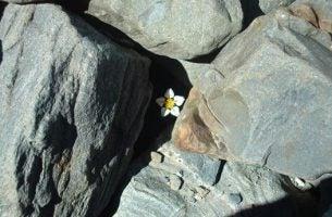 Blomster mellom steiner finner inspirasjon i nederlaget