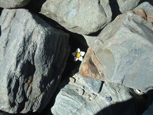 Blomst vokser opp mellom steiner