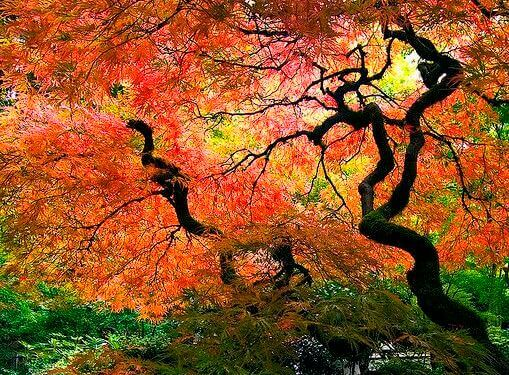 Oransje trær