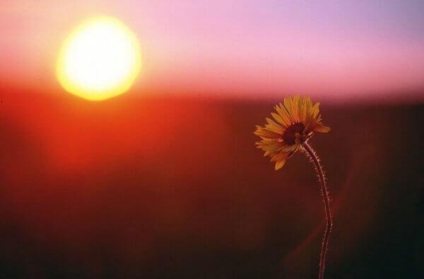 Ensom ringblomst i solnedgang