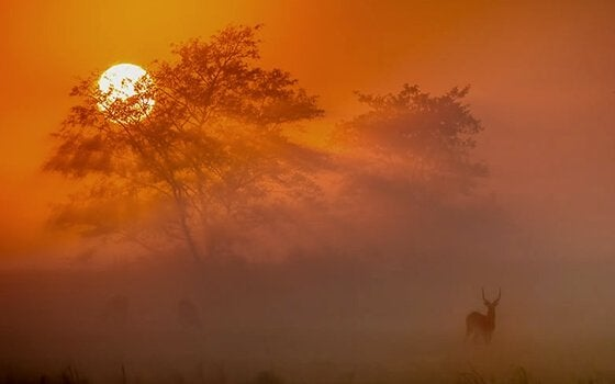 Afrikansk hjort i solnedgang