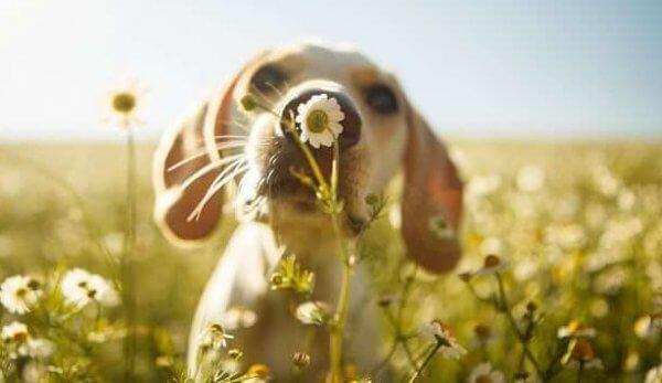 Helbredende kraft av hunder