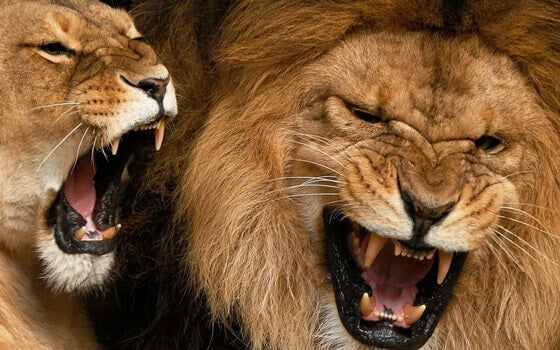 Løver roper som kommunikasjon