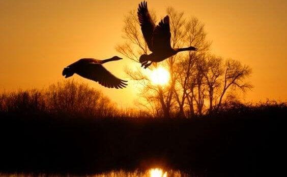 Fugler flyr i solnedgang