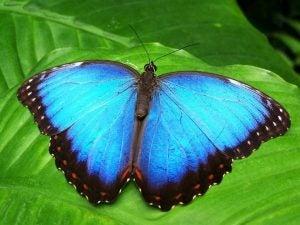 Transformasjon fra larve til blå sommerfugl