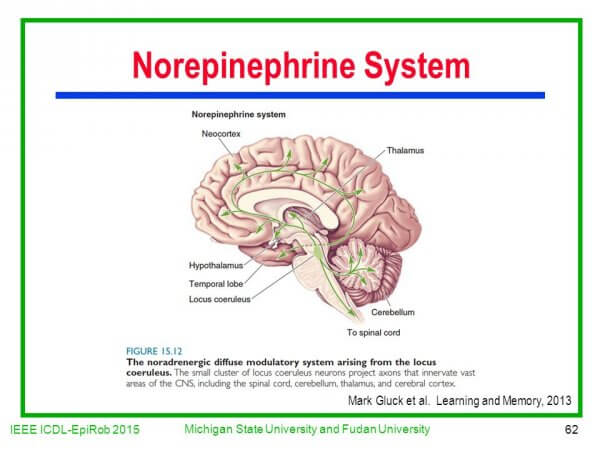 Norepinephrine System