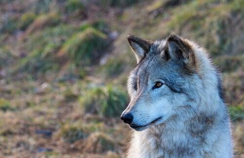 En historie om et vilt barn som bor blant ulver