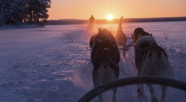 Hundeslede i Finland: sisu.