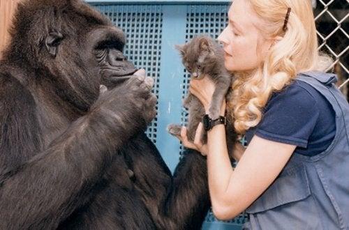 Den søte historien om Koko, den smarteste gorillaen i verden