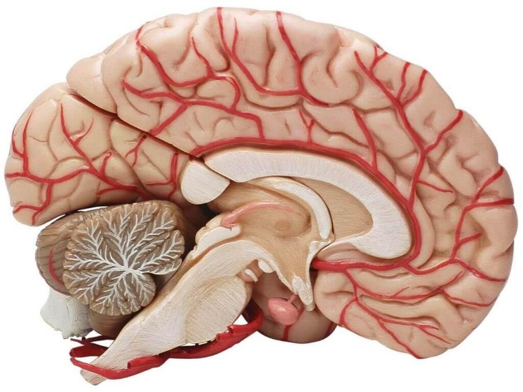 Tverrsnitt av en hjerne