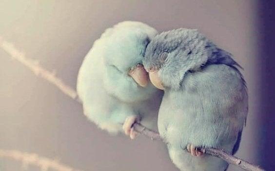 To fugler som gnir hodene sammen