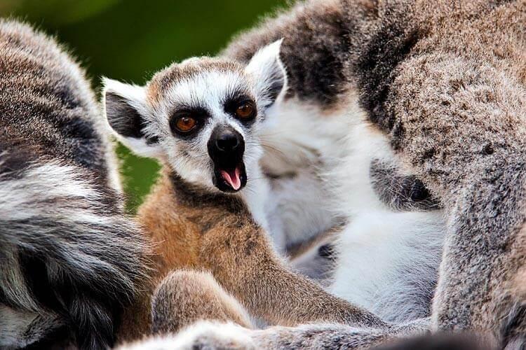 Lemurene gjesper.