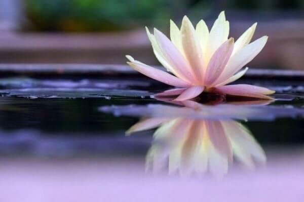 Lotus-som-representerer-ordtak-av-Suzanne-