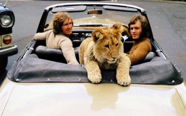 løve i bil