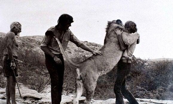 klemmer en løve