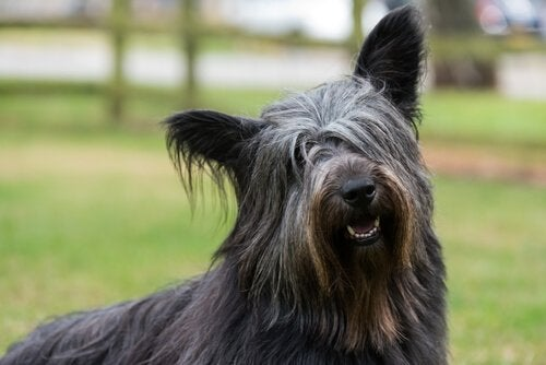 En svart Skye Terrier hund