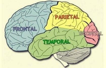 Hjernelappene: Kjennetegn og funksjoner