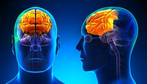 Illustrasjon av neocortex, som befinner seg i pannelappen.
