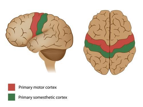 Den motoriske hjernebarken