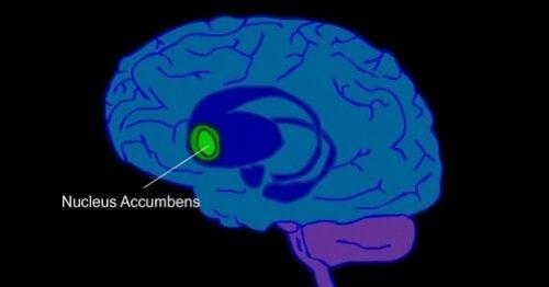 Plasseringen av nucleus accumbens