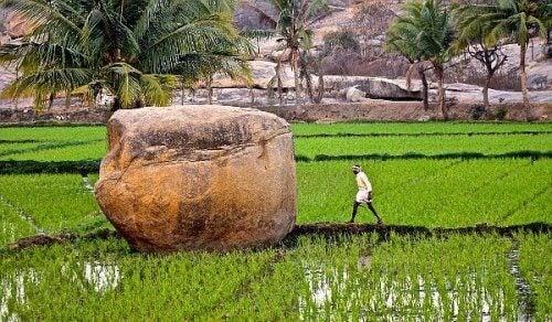 En stor stein midt i en rismark.