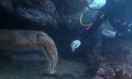 En dykker som berører en blekksprut.