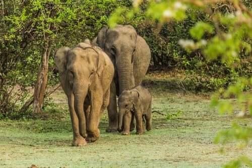 De triste elefantene var en flokk opprørske elefanter.