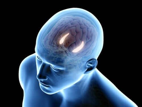 Hippocampus-formasjonen har sine egne interne og eksterne kretser.