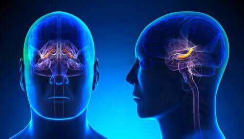 Hippocampus-formasjonen: Struktur og funksjon
