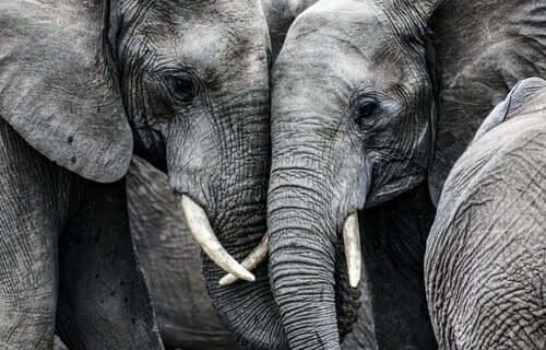 De triste elefantene, en historie ingen helt kan forklare.