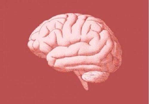 Utsnitt av hjernen.