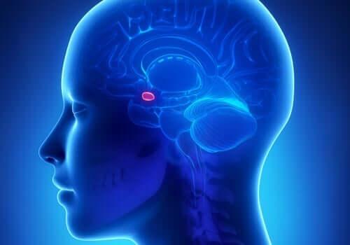 Amygdale fremheves som en liten rosa prikk i hjernen.