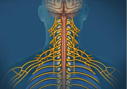 Det somatiske nervesystemet: Egenskaper og funksjoner
