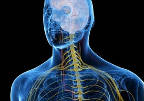 En manns nervesystem i farger.