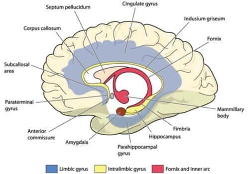 Illustrasjon av hjernen.