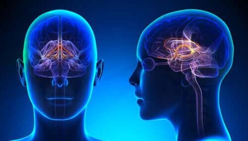 Struktur cingulate gyrus.