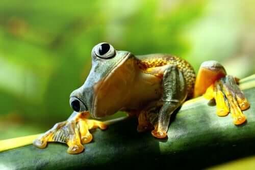 En gul og grønn frosk