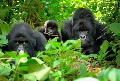 Gorillaer i jungelen