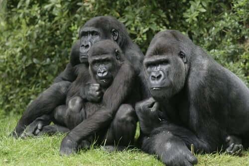 Tre gorillaer.