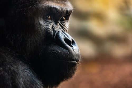 Tre utrolige dødsritualer gorillaer har