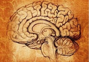Nucleus lentiformis: Senteret for læring og motivasjon