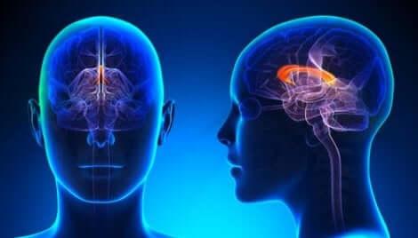 En venstrehendt hjerne vil ha en dominerende høyre hjernehalvdel.