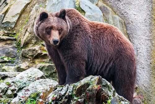 En brun bjørn står på en fjellside og ser utover.