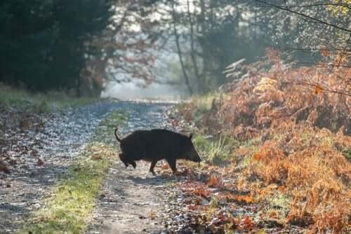 Et vildsvin krysser en landevei