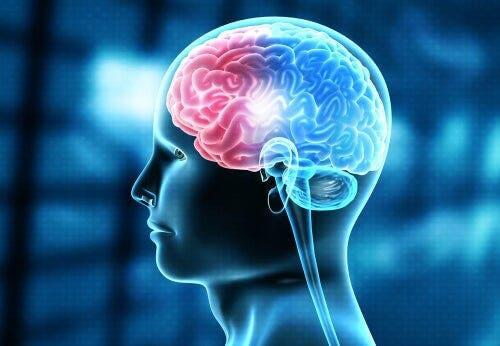 Den menneskelige hjerne.