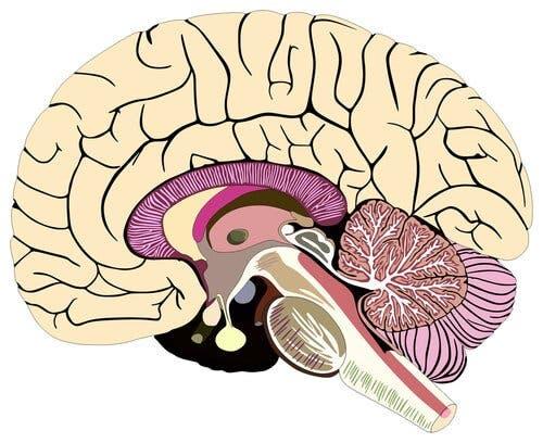En tegning av den menneskelige hjernen.