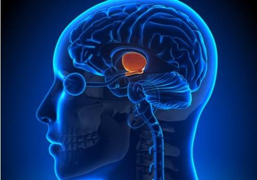 Hva er funksjonene til hypothalamus?