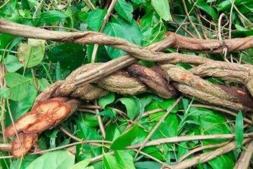 Myter og fakta om ayahuasca og yagé