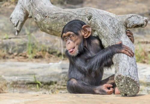 En babysjimpanse.