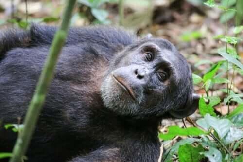 En Washoe sjimpanse.